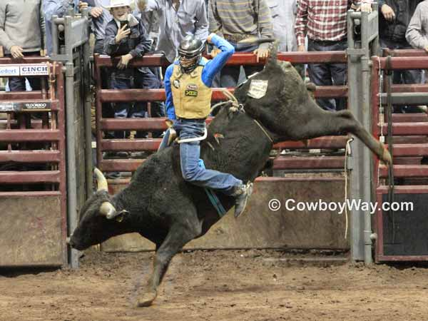 Bull riding thrills: A bull rider rides a bull high in the air
