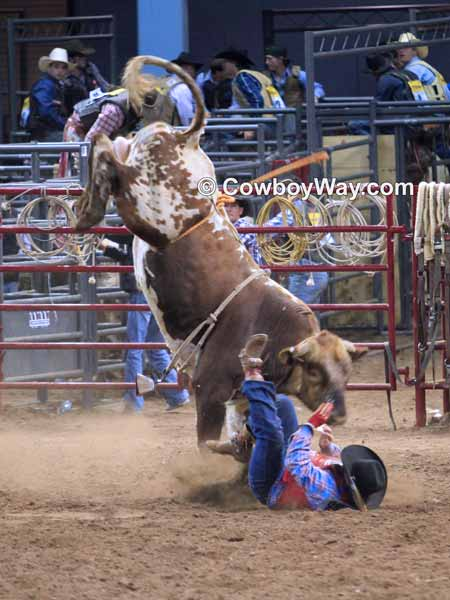 In bull riding wrecks are common: Photo of an upside down bull rider