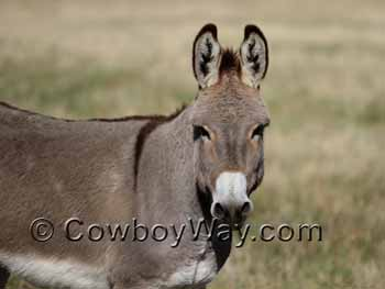 A burro, or donkey