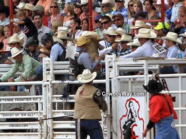 A bucking bull rears in the chutes