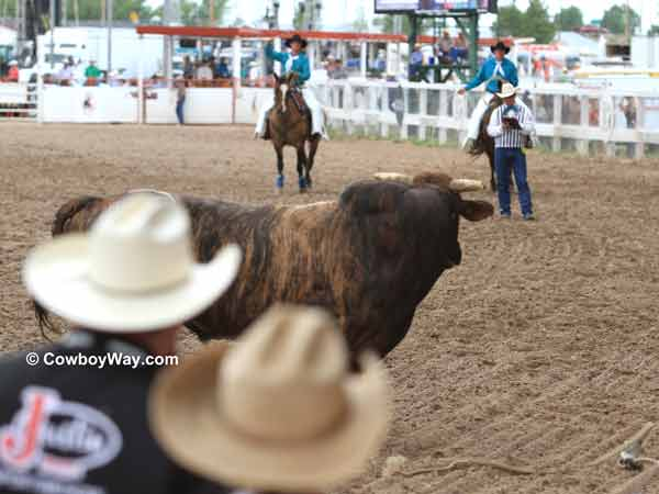 A bucking bull stares at the pickup men