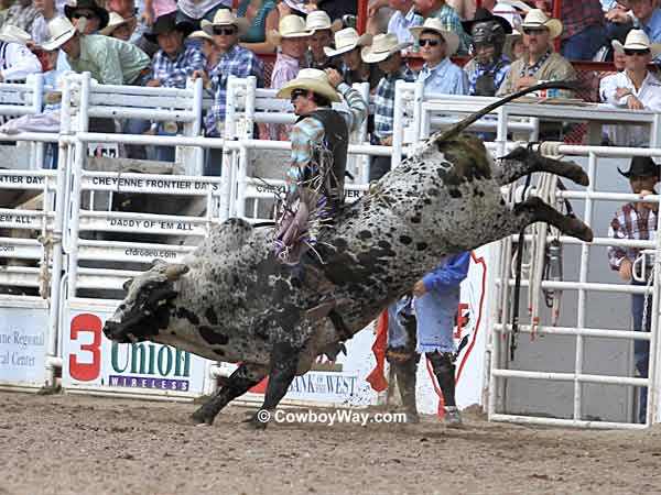 A bull rider on a speckled bull
