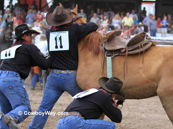 A team gets a saddle on a wild horse