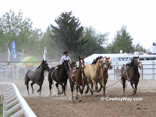 A pickup man drives a group of wild horses