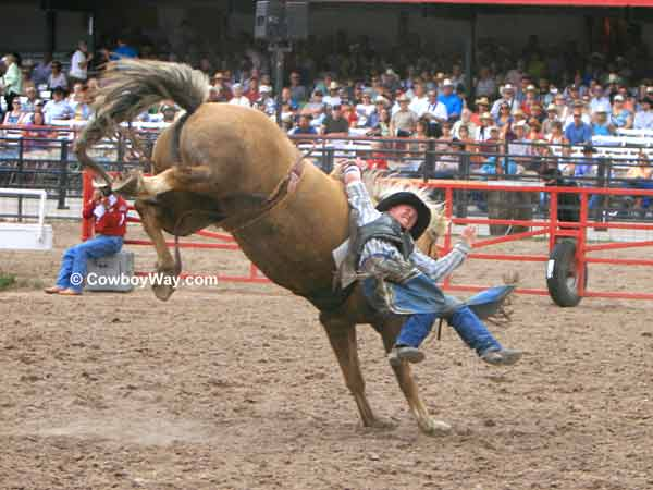 A bronc rider has difficulty getting free of his bronc