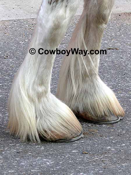 Draft horse feathers and spats