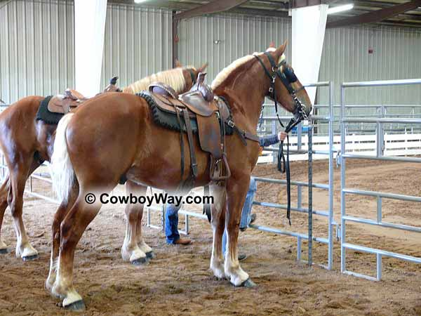 Saddled Belgian draft horse