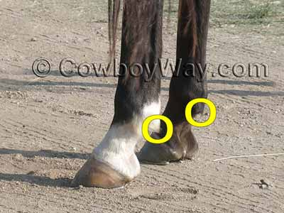 Ergots on a horse are on the back of the fetlock