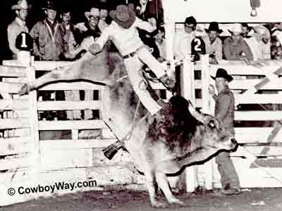 Black and white bull riding picture
