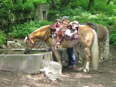 A saddled Haflinger on a wooded trail