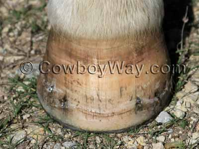 Horse hoof after 51 days of conditioner