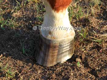 Horse Facts: A horse hoof