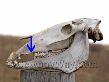 A horse skull showing the teeth