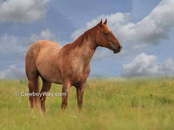 Roan horse in pasture