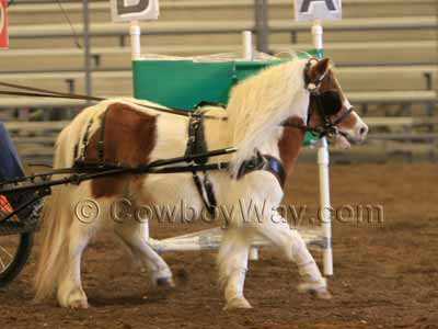 A miniature horse in harness