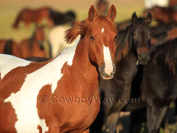 Sorrel and white mare