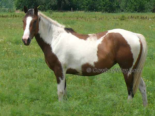 Paint horse in a pasture