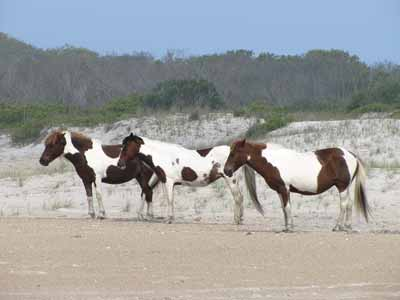Pinto horses, the inspiration for the Ford Pinto
