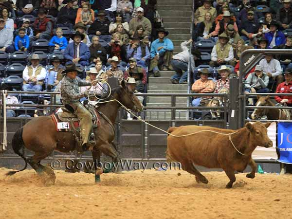 A ranch rodeo team member ropes a wild cow