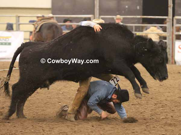 A cow jumps over a cowboy