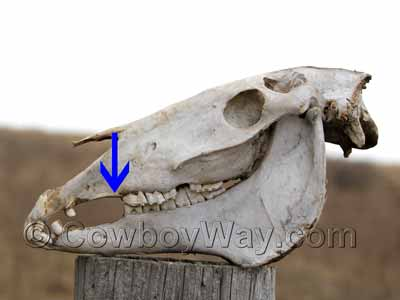 Horse skull showing location of a wolf tooth