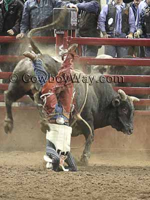 A bull rider wearing a vest gets thrown from a bull