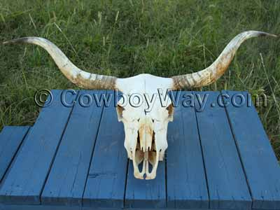 A clean cow skull ready for display